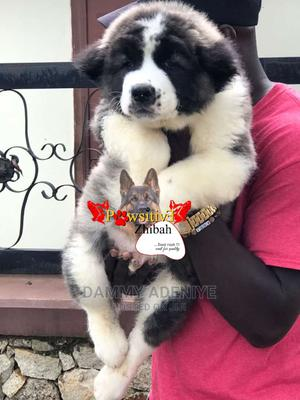 3-6 Month Male Purebred Caucasian Shepherd   Dogs & Puppies for sale in Lagos State, Abule Egba