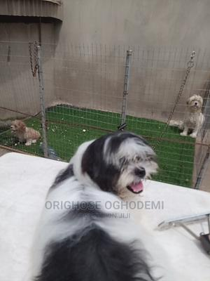 1-3 Month Male Purebred Lhasa Apso | Dogs & Puppies for sale in Ondo State, Akure