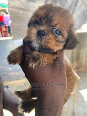 1-3 Month Female Purebred Lhasa Apso | Dogs & Puppies for sale in Lagos State, Gbagada