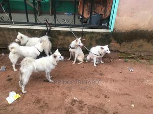 1-3 Month Male Purebred American Eskimo | Dogs & Puppies for sale in Imo State, Owerri