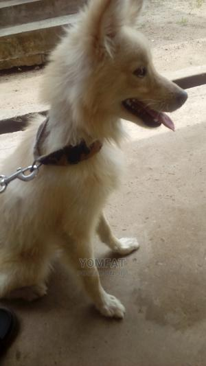 1+ Year Male Mixed Breed Samoyed | Dogs & Puppies for sale in Oyo State, Ibadan