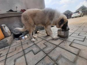 3-6 Month Male Purebred Caucasian Shepherd   Dogs & Puppies for sale in Abuja (FCT) State, Lugbe District