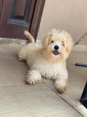 6-12 Month Male Purebred Lhasa Apso | Dogs & Puppies for sale in Oyo State, Ibadan
