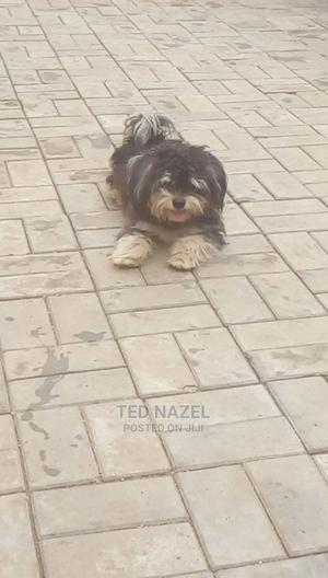 1+ Year Male Purebred Lhasa Apso | Dogs & Puppies for sale in Abuja (FCT) State, Gwarinpa