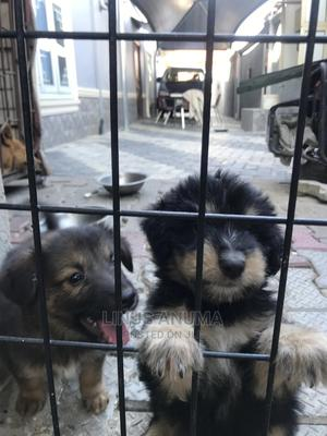 1-3 Month Male Mixed Breed German Shepherd | Dogs & Puppies for sale in Lagos State, Kosofe