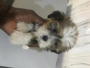 1-3 Month Male Purebred Lhasa Apso | Dogs & Puppies for sale in Lagos State, Ajah