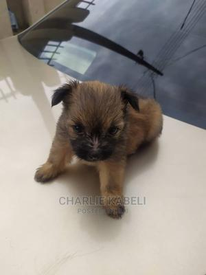0-1 Month Female Mixed Breed Lhasa Apso | Dogs & Puppies for sale in Abuja (FCT) State, Gwarinpa