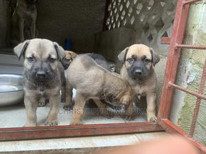 1-3 Month Male Mixed Breed Boerboel | Dogs & Puppies for sale in Abuja (FCT) State, Wuse 2