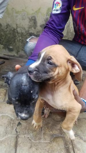 1-3 Month Male Purebred American Pit Bull Terrier | Dogs & Puppies for sale in Oyo State, Ibadan