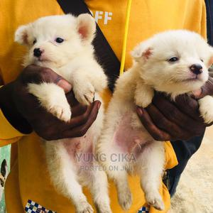 1-3 Month Male Purebred American Eskimo | Dogs & Puppies for sale in Lagos State, Ikoyi