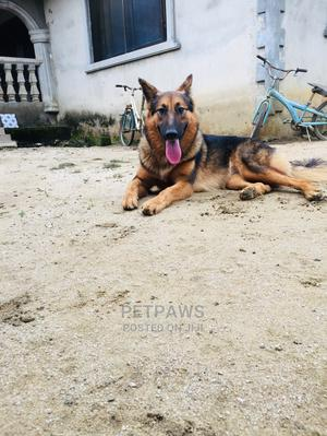 6-12 Month Female Purebred German Shepherd | Dogs & Puppies for sale in Akwa Ibom State, Uyo