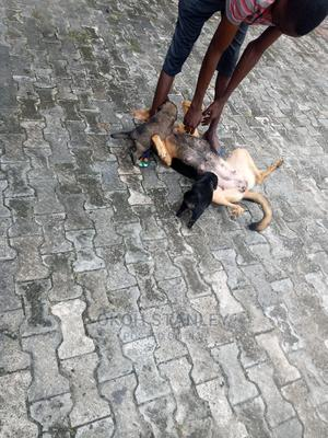 0-1 Month Female Mixed Breed German Shepherd | Dogs & Puppies for sale in Delta State, Warri
