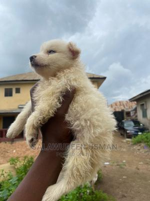 1-3 Month Male Purebred American Eskimo   Dogs & Puppies for sale in Oyo State, Ibadan