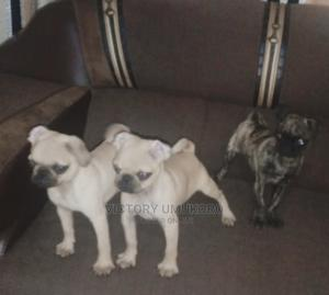 1-3 Month Male Purebred Pug | Dogs & Puppies for sale in Lagos State, Abule Egba
