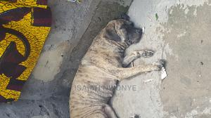 6-12 Month Female Purebred Boerboel | Dogs & Puppies for sale in Lagos State, Badagry