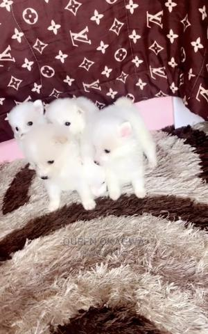 0-1 Month Male Purebred American Eskimo | Dogs & Puppies for sale in Lagos State, Ajah