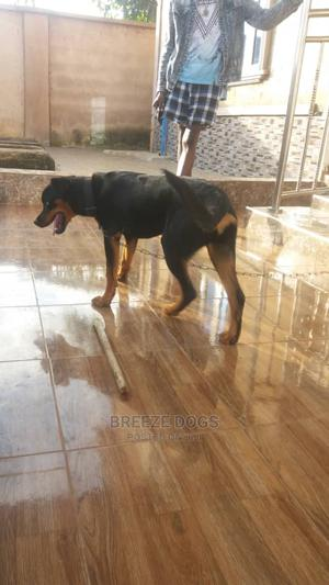 3-6 Month Female Purebred Rottweiler | Dogs & Puppies for sale in Edo State, Benin City