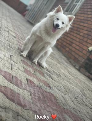 1+ Year Male Purebred American Eskimo | Dogs & Puppies for sale in Abuja (FCT) State, Dakwo District