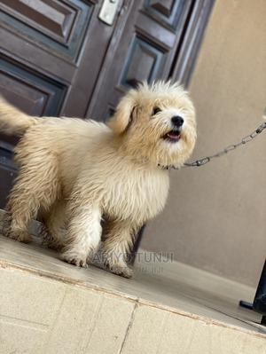 3-6 Month Male Purebred Lhasa Apso   Dogs & Puppies for sale in Oyo State, Ibadan
