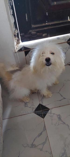 6-12 Month Female Purebred Lhasa Apso   Dogs & Puppies for sale in Delta State, Oshimili North