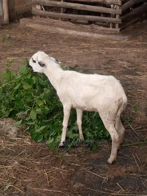 White Big Sheep   Other Animals for sale in Oyo State, Akinyele