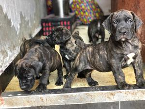 1-3 Month Female Purebred Boerboel | Dogs & Puppies for sale in Edo State, Benin City
