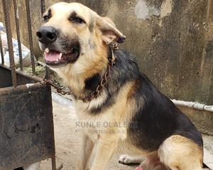 1+ Year Male Purebred German Shepherd   Dogs & Puppies for sale in Lagos State, Agege