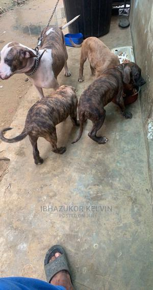 3-6 Month Female Purebred American Pit Bull Terrier | Dogs & Puppies for sale in Lagos State, Ajah