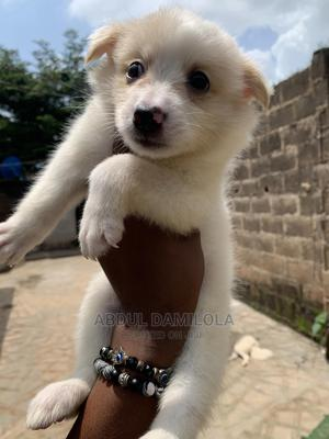 1-3 month Female Purebred American Eskimo | Dogs & Puppies for sale in Ogun State, Ijebu Ode