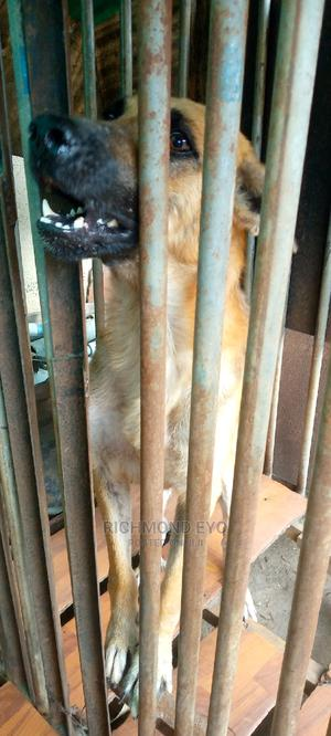 1+ Year Male Mixed Breed German Shepherd | Dogs & Puppies for sale in Lagos State, Amuwo-Odofin