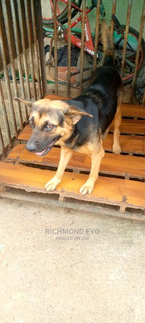 1+ Year Female Mixed Breed German Shepherd | Dogs & Puppies for sale in Lagos State, Amuwo-Odofin