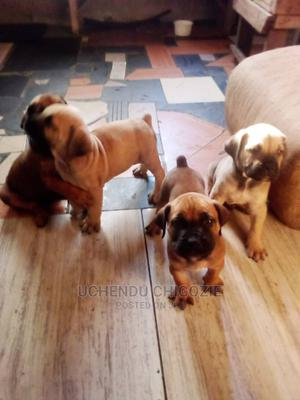 1-3 Month Female Purebred Boerboel | Dogs & Puppies for sale in Lagos State, Alimosho