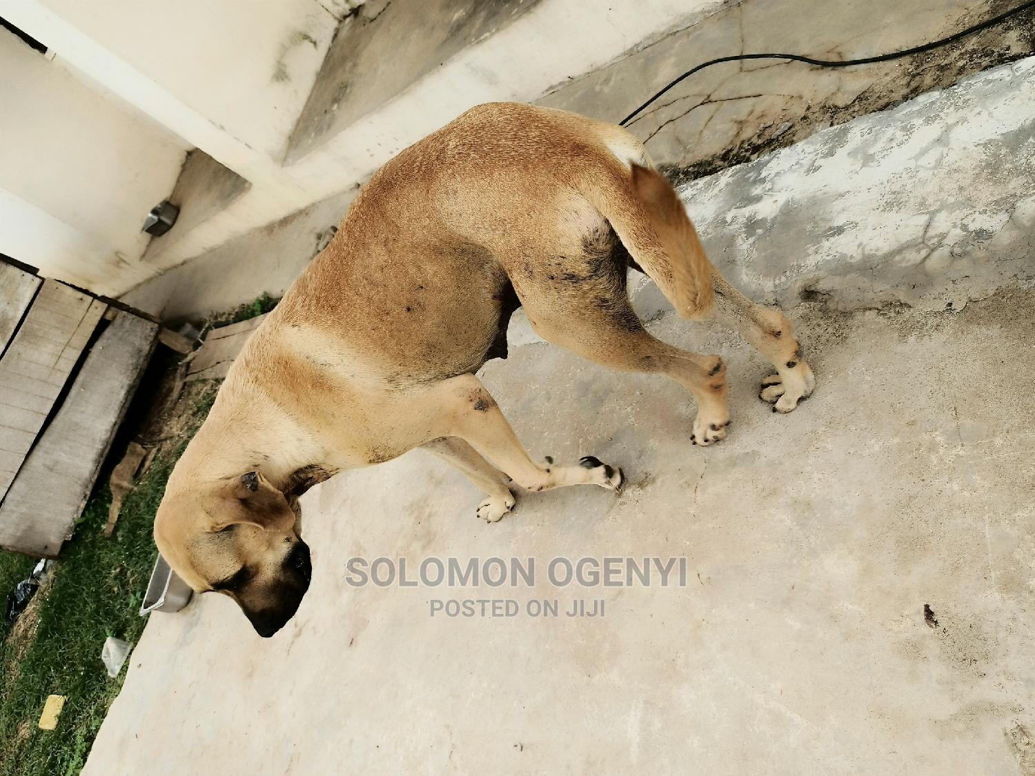 1+ Year Female Purebred Boerboel | Dogs & Puppies for sale in Ibadan, Oyo State, Nigeria