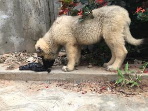 1-3 Month Female Purebred Caucasian Shepherd | Dogs & Puppies for sale in Rivers State, Port-Harcourt