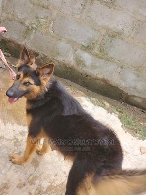 1+ Year Female Purebred German Shepherd   Dogs & Puppies for sale in Ekiti State, Ado Ekiti