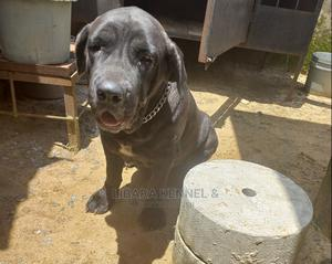 1+ Year Female Purebred Boerboel | Dogs & Puppies for sale in Akwa Ibom State, Uyo