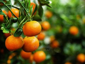 Dwarf Citrus (Tangerine) Seedlings | Feeds, Supplements & Seeds for sale in Rivers State, Port-Harcourt