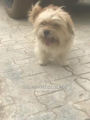 1+ Year Male Purebred Lhasa Apso | Dogs & Puppies for sale in Lagos State, Ikorodu