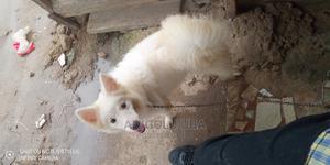 3-6 Month Male Purebred American Eskimo | Dogs & Puppies for sale in Lagos State, Amuwo-Odofin