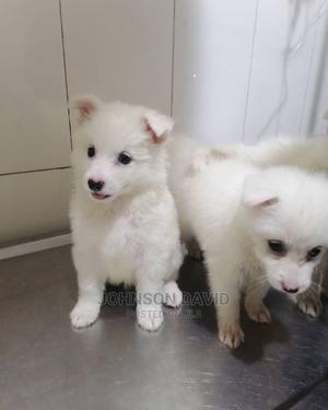 1-3 Month Female Purebred American Eskimo | Dogs & Puppies for sale in Delta State, Warri