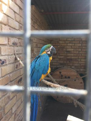 Blue and Gold Macaws Available | Birds for sale in Lagos State, Ikeja