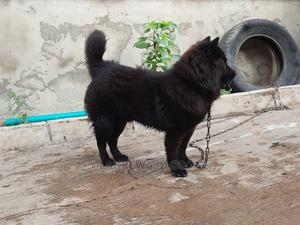 1+ Year Male Purebred Chow Chow | Dogs & Puppies for sale in Oyo State, Ibadan