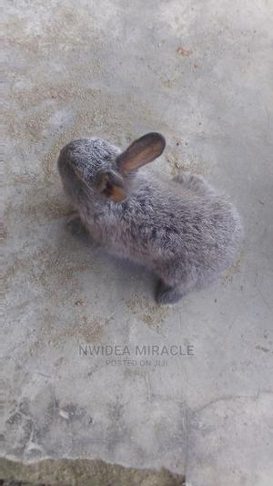 American Sable Rabbit   Other Animals for sale in Rivers State, Port-Harcourt