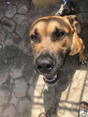 1+ Year Male Purebred Boerboel | Dogs & Puppies for sale in Osun State, Osogbo
