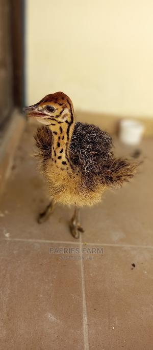Baby Ostrich | Birds for sale in Kaduna State, Kaduna / Kaduna State