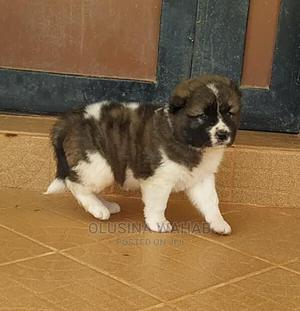 1-3 Month Male Purebred Caucasian Shepherd | Dogs & Puppies for sale in Abuja (FCT) State, Asokoro