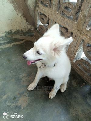 3-6 Month Male Purebred Dog | Dogs & Puppies for sale in Oyo State, Akinyele