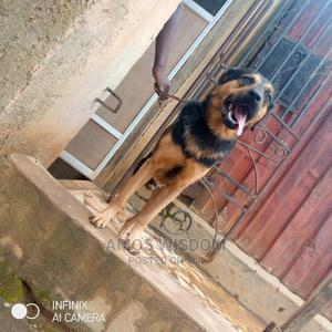 1+ Year Male Mixed Breed German Shepherd | Dogs & Puppies for sale in Abuja (FCT) State, Mpape
