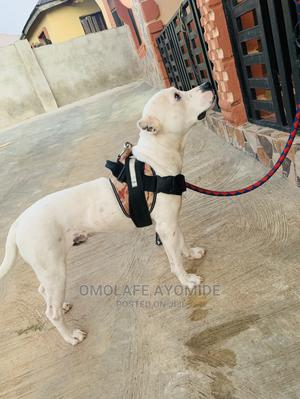 1+ Year Male Purebred American Pit Bull Terrier | Dogs & Puppies for sale in Ondo State, Akure