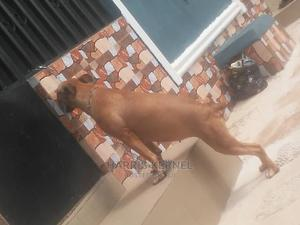 6-12 Month Female Purebred Boerboel | Dogs & Puppies for sale in Edo State, Benin City